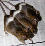 Belted mutant mice
