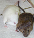 Tyrosinase albino and wild-type alleles